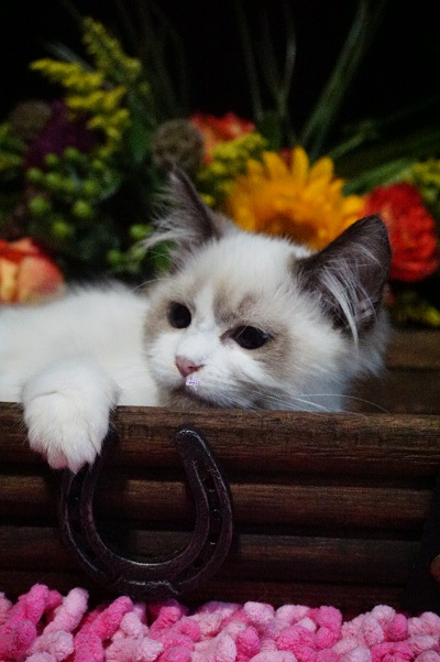show quality seal bicolor male ragdoll kitten for sale