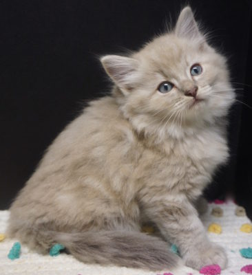 Blue Mink lnnk Ragdoll for sale