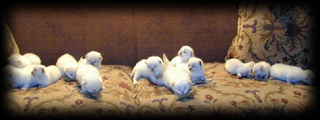 ragdoll kittens for sale on couch