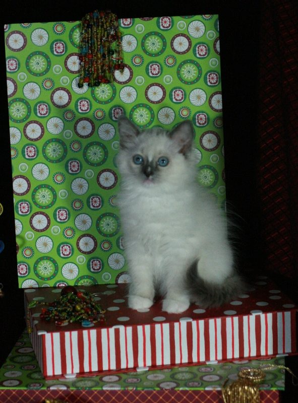 Usa Ragdolls Ragdoll Kittens And Cats Colors And Patterns