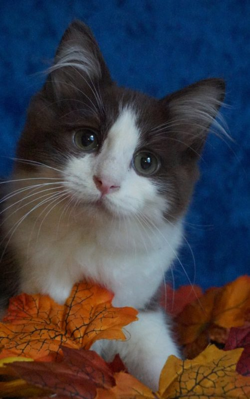 chocolate bicolor ragdoll available for adoption