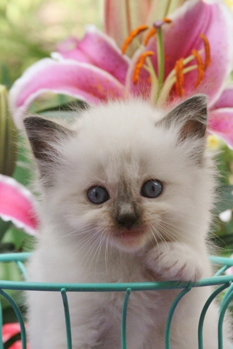 Usa Ragdolls Doll Face Ragdoll Kittens For Sale Texas