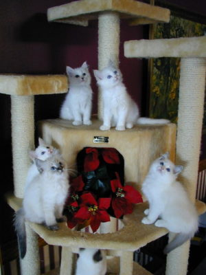 USA Ragdolls Texas Ragdoll Breeder With Kittens For Sale