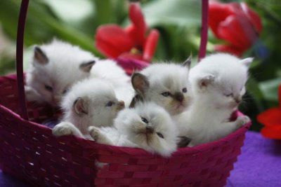 Usa Ragdolls Angelic Doll Face Ragdoll Kittens For Sale