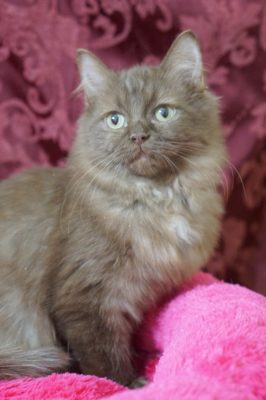 6161353867 USA Ragdolls - Ragdoll Kitten Picture Gallery