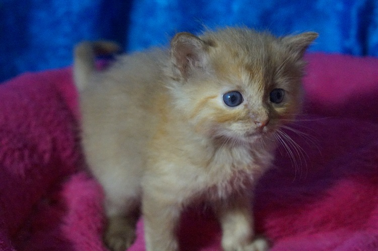 chocolate calico ragdoll kitten for sale - Ragdoll Kittens For Sale