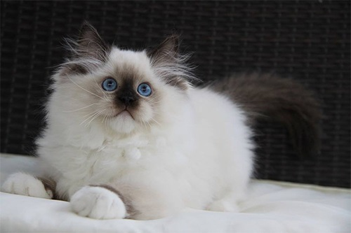 Ragdoll Kittens For Sale Texas - Available Kittens in Texas